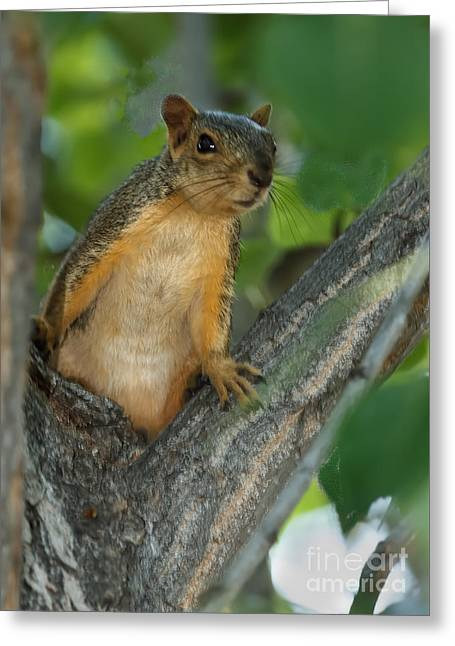 Fox Squirrel Greeting Cards - Mr.  Inquisitive  Greeting Card by Robert Bales