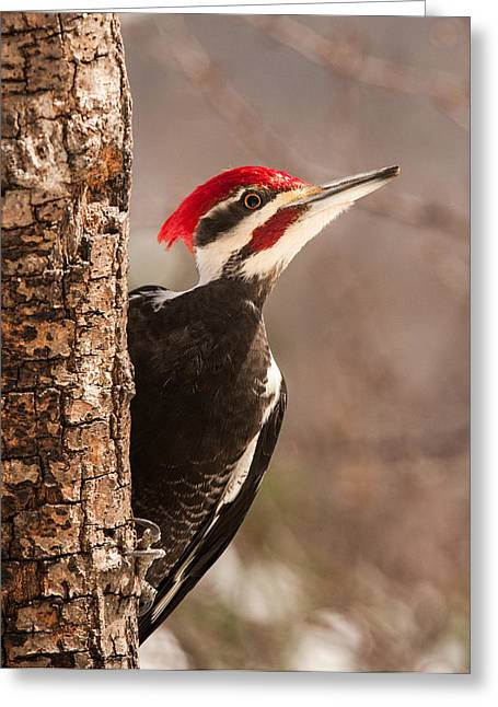 Pileated Woodpeckers Greeting Cards - Mr. Pileated Greeting Card by Lara Ellis