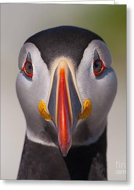 Machias Seal Island Greeting Cards - Mr. Puffin.. Greeting Card by Nina Stavlund