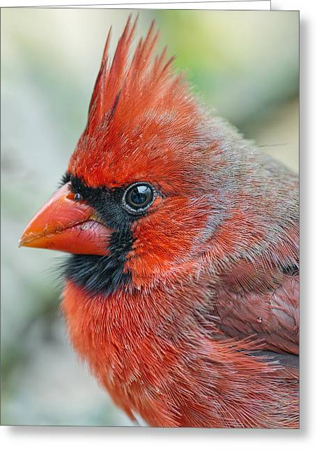 Male Northern Cardinal Greeting Cards - Mr. Red Chili Pepper Greeting Card by Bonnie Barry