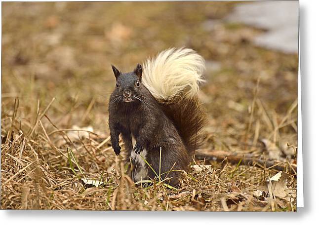 Sciurus Carolinensis Greeting Cards - Mr. Skunky Greeting Card by Joshua McCullough