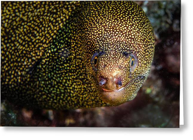 Scuba Diving Greeting Cards - Mr. Spotty Greeting Card by Jean Noren