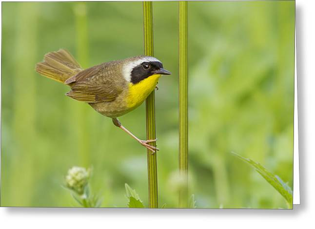 Warbler Greeting Cards - Mr Yellowthroat Greeting Card by Mircea Costina Photography