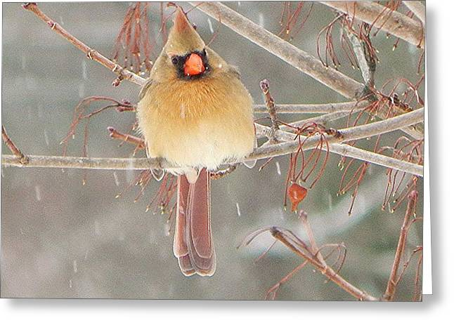 Snowy Day Greeting Cards - Mrs Cardinal Greeting Card by Judy Genovese