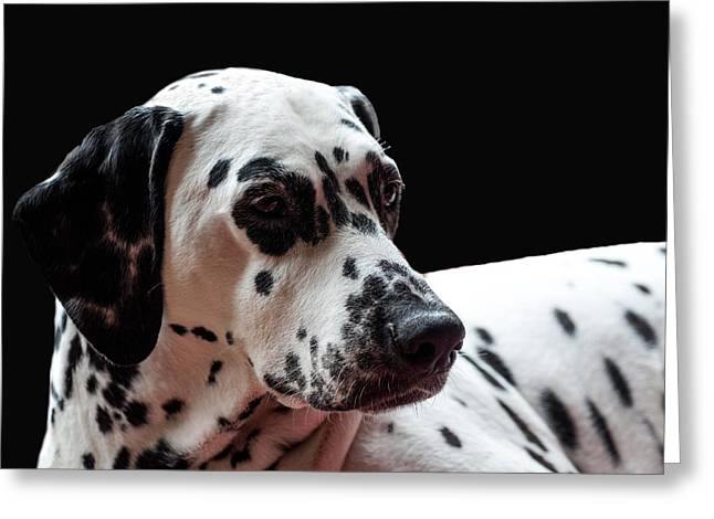 Gun Dog Greeting Cards - Ms Elegance. Kokkie. Dalmation Dog Greeting Card by Jenny Rainbow