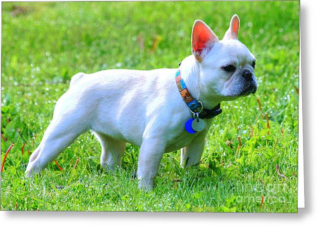Tap On Photo Greeting Cards - Ms. Quiggly - French Bulldog Greeting Card by Tap On Photo