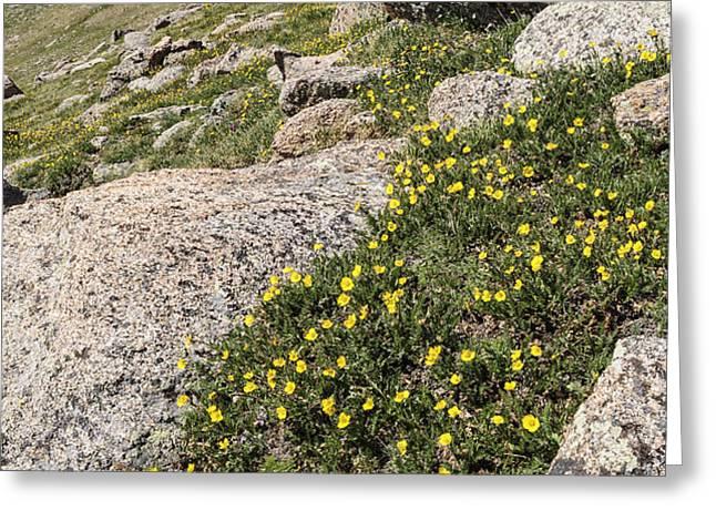 Mt. Evans Wildflowers Greeting Card by Aaron Spong