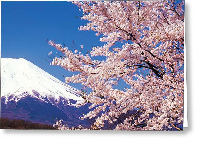 Snow Blossom Greeting Cards - Mt Fuji Cherry Blossoms Yamanashi Japan Greeting Card by Panoramic Images