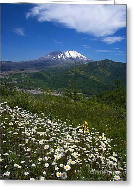 Aster Greeting Cards - Mt. St. Helens View Greeting Card by Mike Dawson