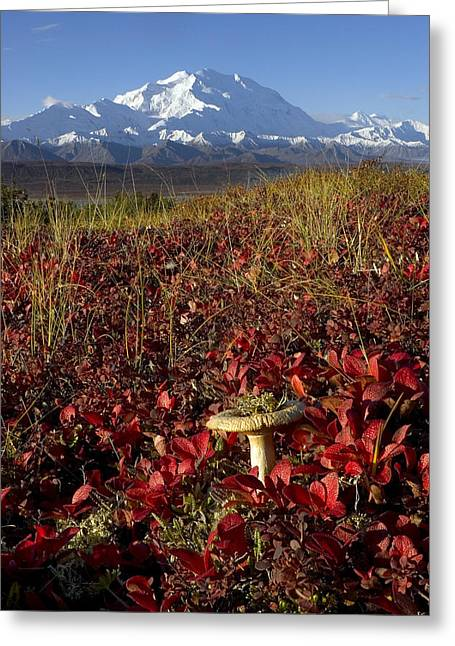 Alaska Mushroom Greeting Cards - Mt.mckinley With Alpine Bearbery, Fall Greeting Card by Gary Schultz
