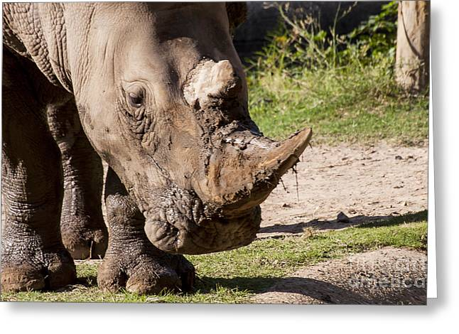 One Horned Rhino Greeting Cards - Mud Lover Greeting Card by Bob Phillips