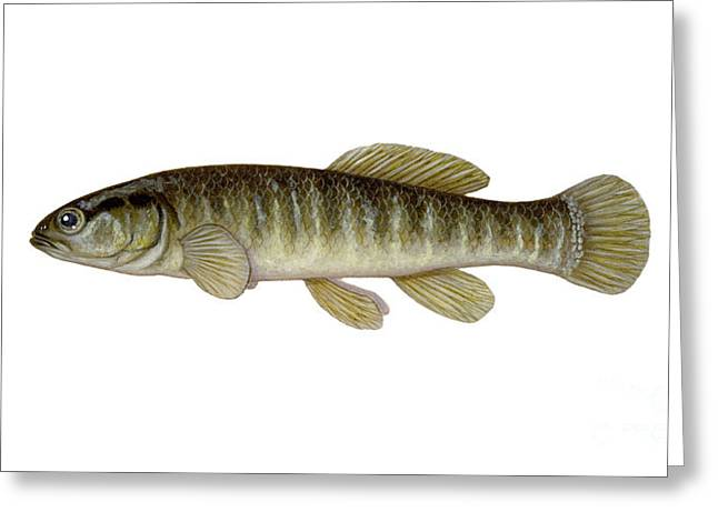 Minnows Greeting Cards - Mud Minnow Greeting Card by Carlyn Iverson