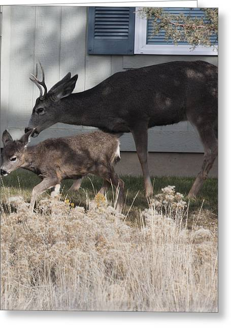 State Parks In Oregon Greeting Cards - Mule Deer - 0023 Greeting Card by S and S Photo