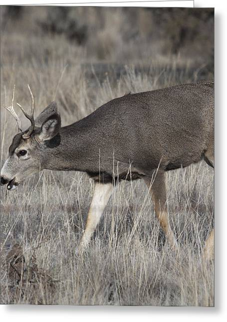 State Parks In Oregon Greeting Cards - Mule Deer - 0025 Greeting Card by S and S Photo