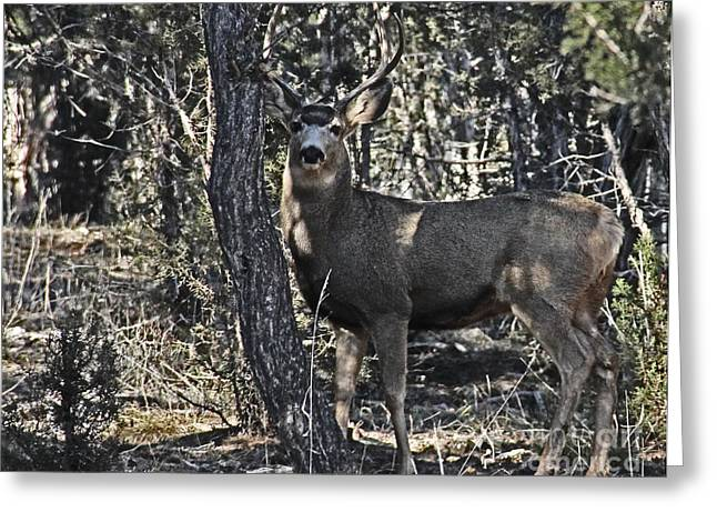 Garfield County Greeting Cards - Mule Deer Buck Greeting Card by Bob Hislop