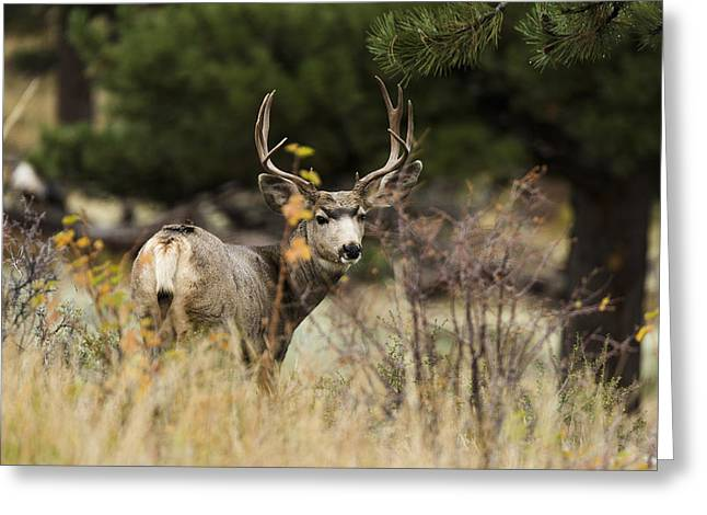Mules Greeting Cards - Mule Deer I Greeting Card by Chad Dutson