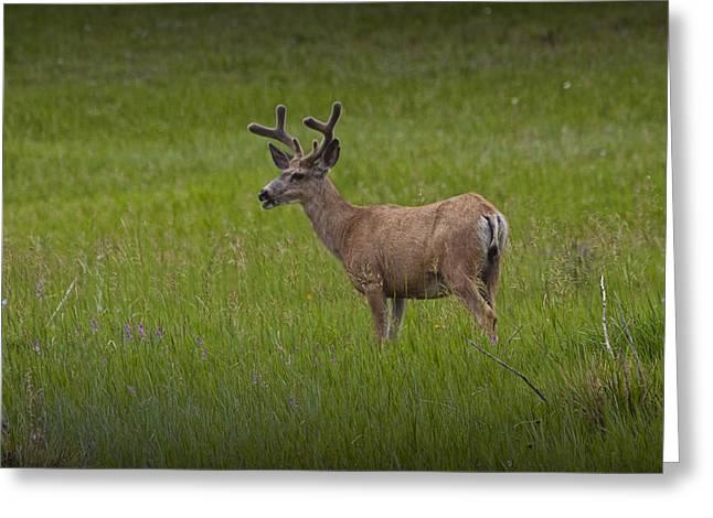 Mule Deer Buck Photograph Greeting Cards - Mule Deer with Velvet Antlers No. 1097 Greeting Card by Randall Nyhof