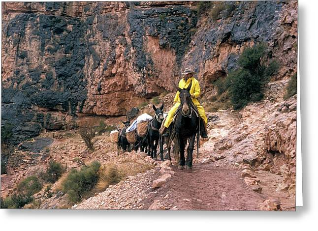 Mules Hauling Rubbish In The Grand Canyon Greeting Card by Jim West