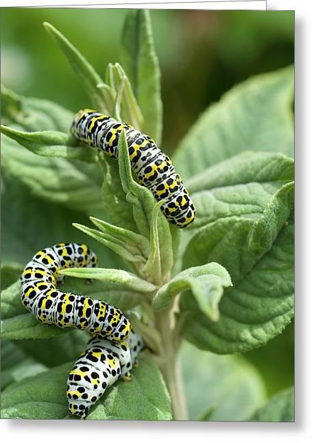 Mullein Moth Caterpillars Greeting Card by David Aubrey