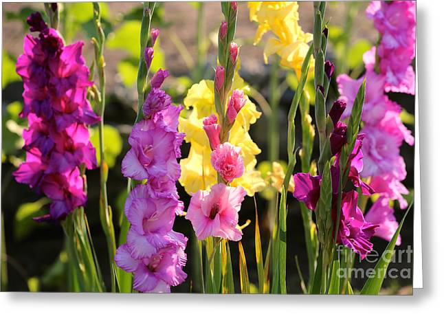 Glad Greeting Cards - Multi Colored Gladiolus Greeting Card by Carol Groenen