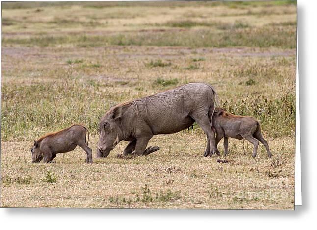 Multi-tasking Warthog  Greeting Card by Chris Scroggins