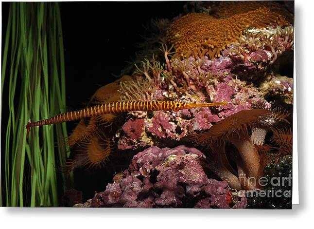 Multibanded Pipefish Greeting Card by Gregory G. Dimijian