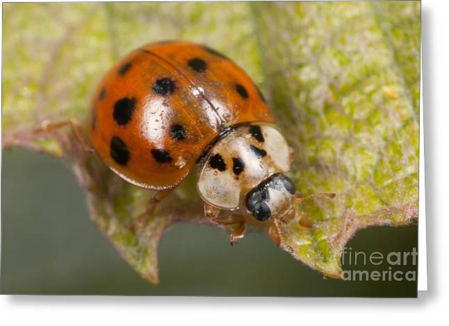 Multicolored Asian Lady Beetle Greeting Card by Clarence Holmes