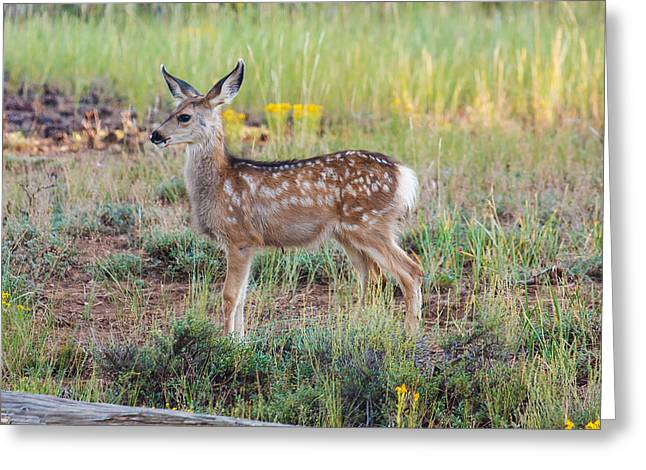 Southwest Wildlife Greeting Cards - Multidirectional Listening   Greeting Card by James Marvin Phelps