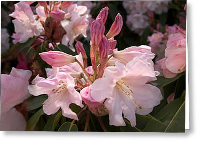 Stamen Greeting Cards - Multiple Images Of Pink Rhododendron Greeting Card by Panoramic Images