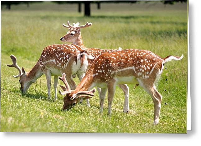 Multitasking Deer In Richmond Park Greeting Card by Rona Black