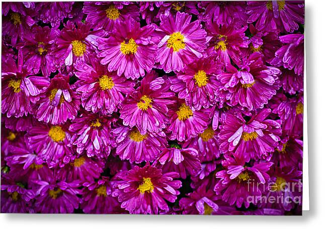 Drop Greeting Cards - Mums Greeting Card by Elena Elisseeva