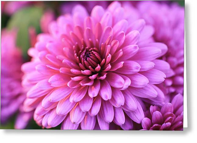 Pinks And Purple Petals Photographs Greeting Cards - Mums the Word 2 Greeting Card by Rachel Cohen