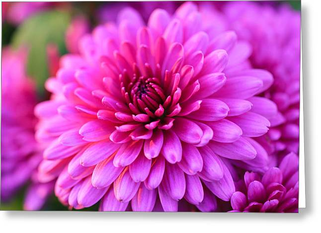 Pinks And Purple Petals Greeting Cards - Mums the Word Greeting Card by Rachel Cohen