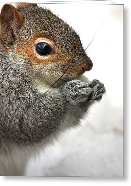 Connecticut Wildlife Greeting Cards - Munching Greeting Card by Karol  Livote