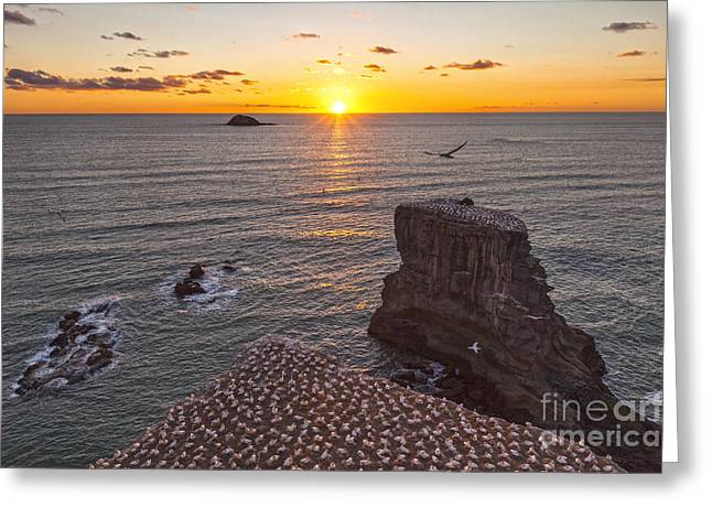 Gannet Greeting Cards - Muriwai Gannet Colony at Sunset Greeting Card by Colin and Linda McKie
