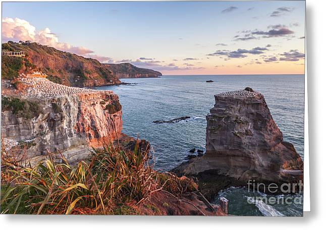 Gannet Greeting Cards - Muriwai Gannet Colony Auckland New Zealand Greeting Card by Colin and Linda McKie