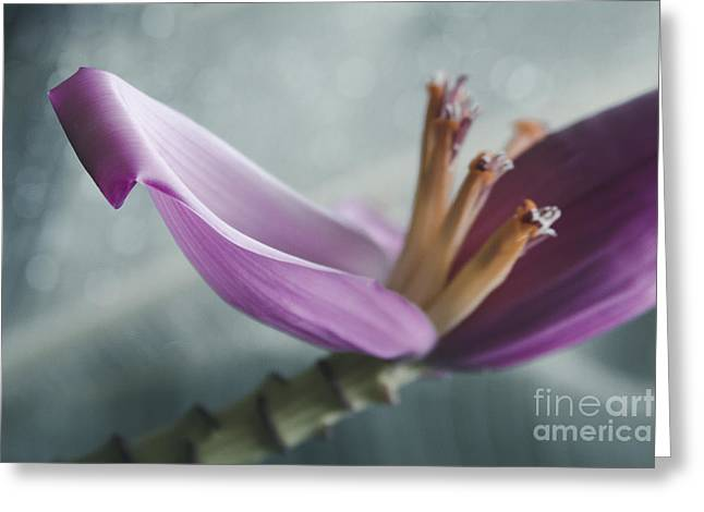 Bracts Greeting Cards - Musa ornata - Pink Ornamental Banana Flower - Kepaniwai Maui Hawaii  Greeting Card by Sharon Mau