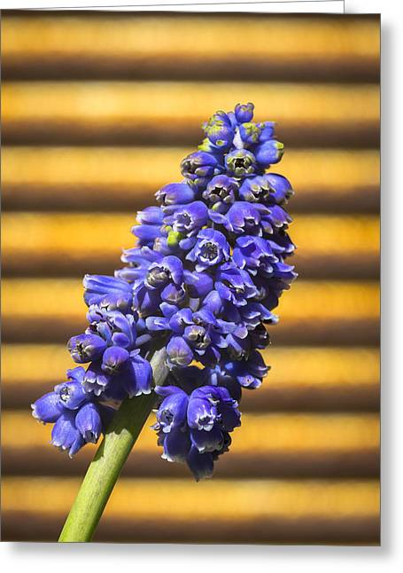 Purple Grapes Greeting Cards - Muscari and Rust Greeting Card by Caitlyn  Grasso