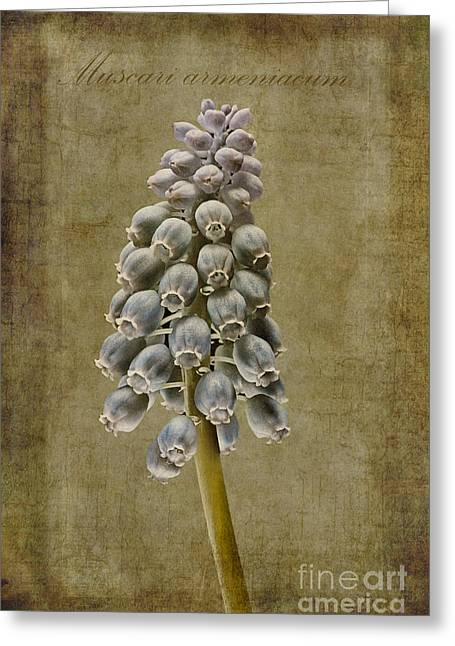 Hyacinth Greeting Cards - Muscari armeniacum with textures Greeting Card by John Edwards