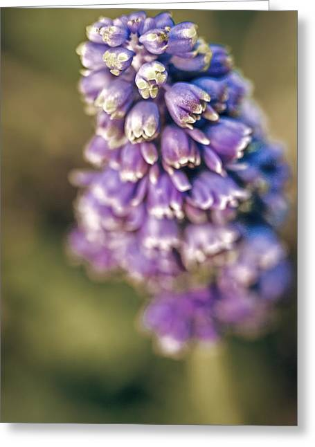 Purple Grapes Greeting Cards - Muscari Greeting Card by Caitlyn  Grasso