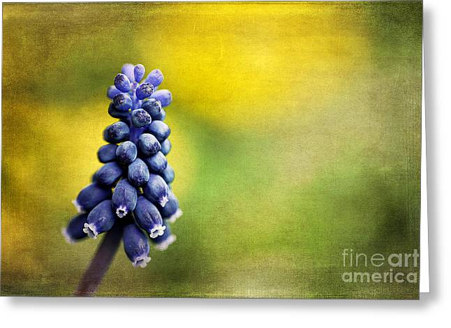 Blue Grapes Greeting Cards - Muscari Greeting Card by Darren Fisher