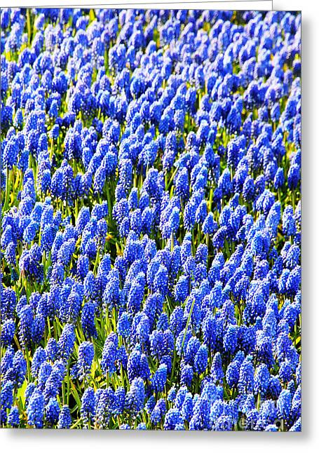 Grape Hyacinths Greeting Cards - Muscari Early Magic Greeting Card by Jasna Buncic