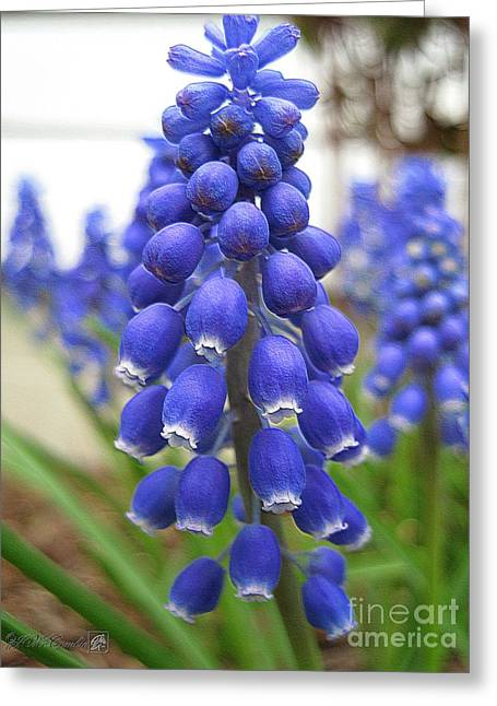 Picturesque Mixed Media Greeting Cards - Muscari or Grape Hyacinth Greeting Card by J McCombie