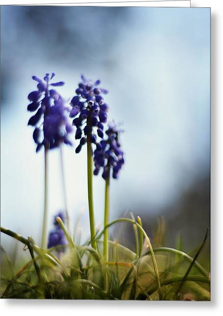 Purple Grapes Greeting Cards - Muscari Greeting Card by Rebecca Sherman