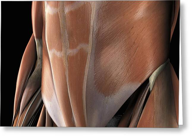Skeletal Muscle Greeting Cards - Muscles Of The Abdomen Greeting Card by Science Picture Co