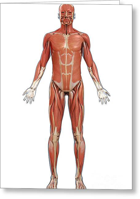 Full Body Greeting Cards - Muscles Of The Body Greeting Card by Science Picture Co