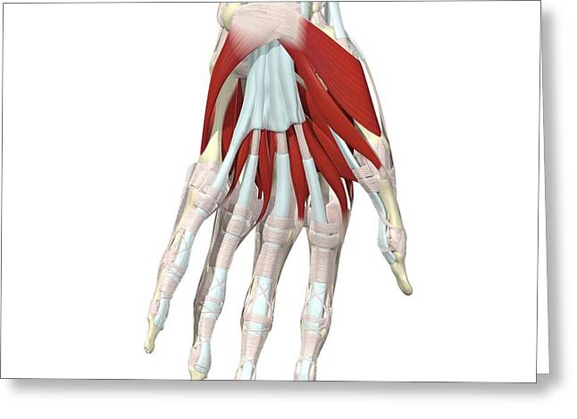 Lumbrical Greeting Cards - Muscles Of The Hand Ii Greeting Card by Medical Images, Universal Images Group