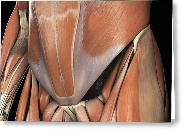 Abdominal Greeting Cards - Muscles Of The Lower Abdomen Greeting Card by Science Picture Co