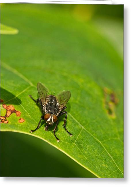 Diptera Greeting Cards - Muscoid Fly 1 Greeting Card by Douglas Barnett
