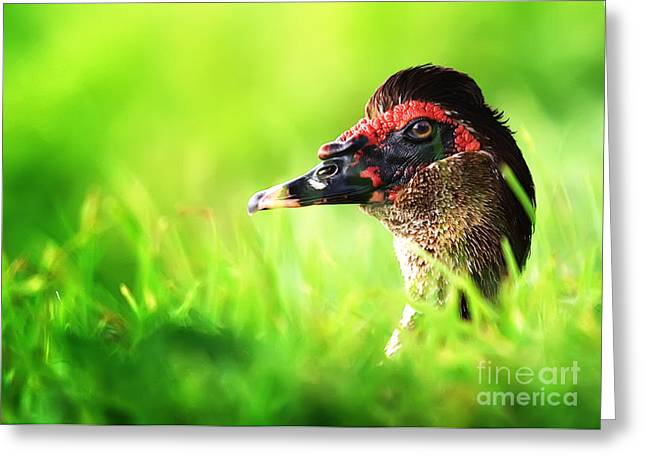 Muscovy Greeting Cards - Muscovy Duck Playing Peek-a-Boo Greeting Card by Katya Horner